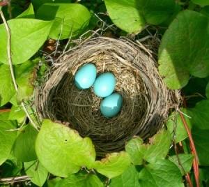 Robin Bird Nest