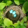 Robin Bird Nest