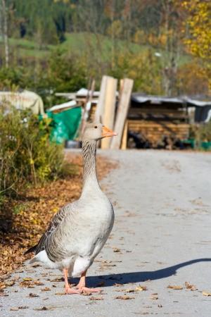 Pet Goose