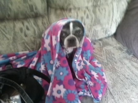 Dog wrapped in a blanket sitting on the couch.