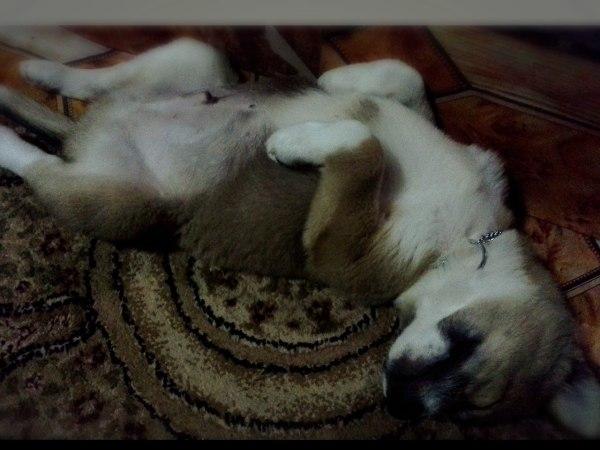 Puppy lying upside down.