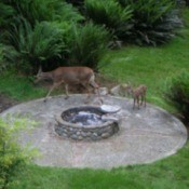Doe and fawn in garden.