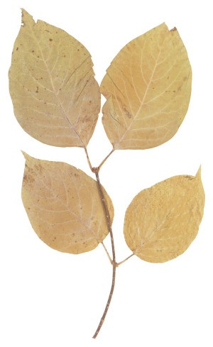 Brown Birch Leaves