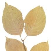 Brown Birch Leaves