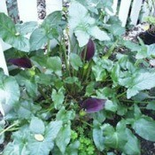 Purple calla lilies growing in a garden.