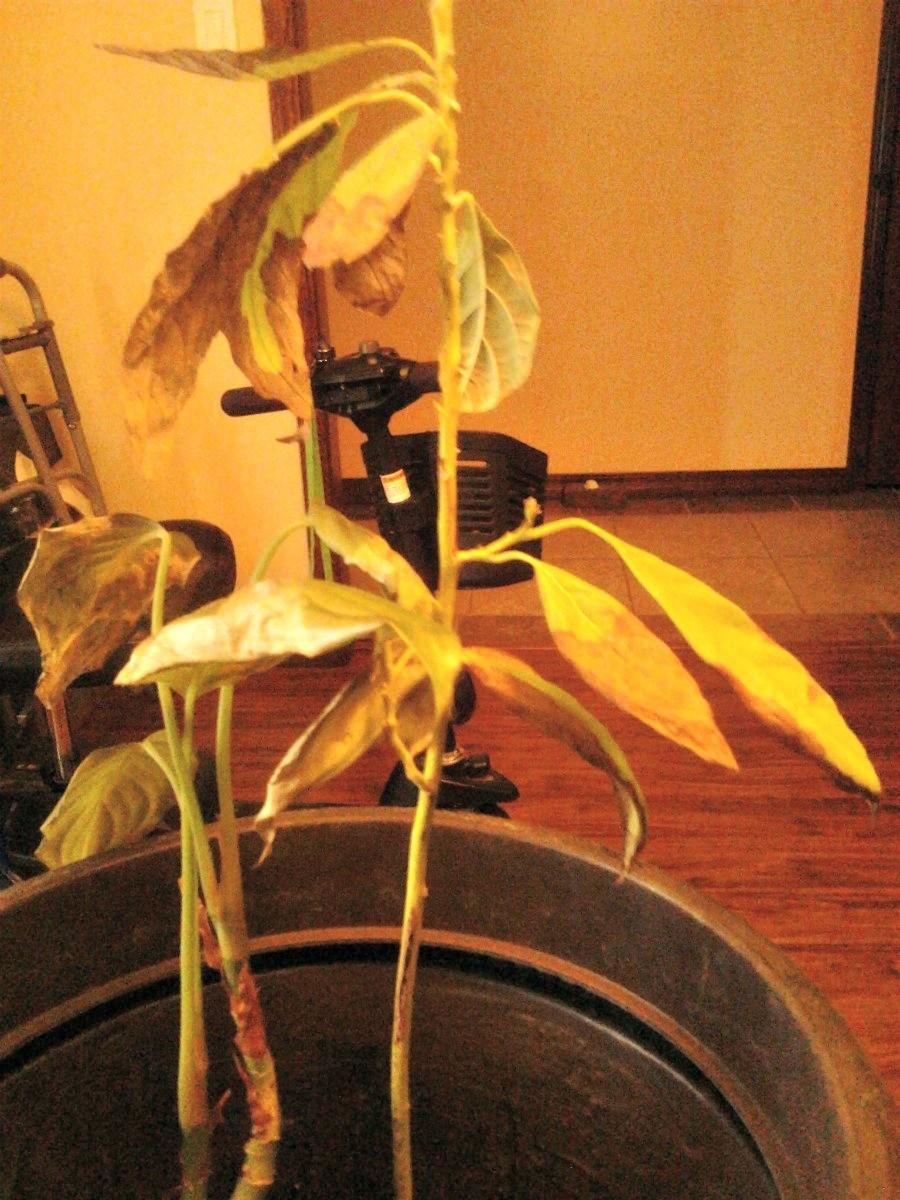 Avocado Trees Losing Leaves | ThriftyFun