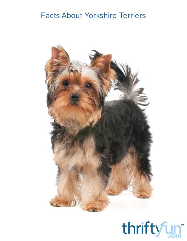 yorkshire terrier information facts about yorkshire terriers thriftyfun 3220
