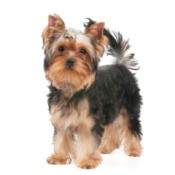 Facts About Yorkshire Terriers