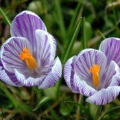 Purple and white crocus blooms.