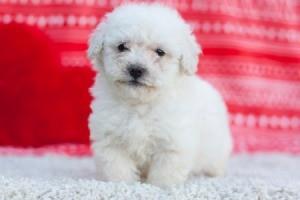 Bichon Frise/Poodle Mix Puppy