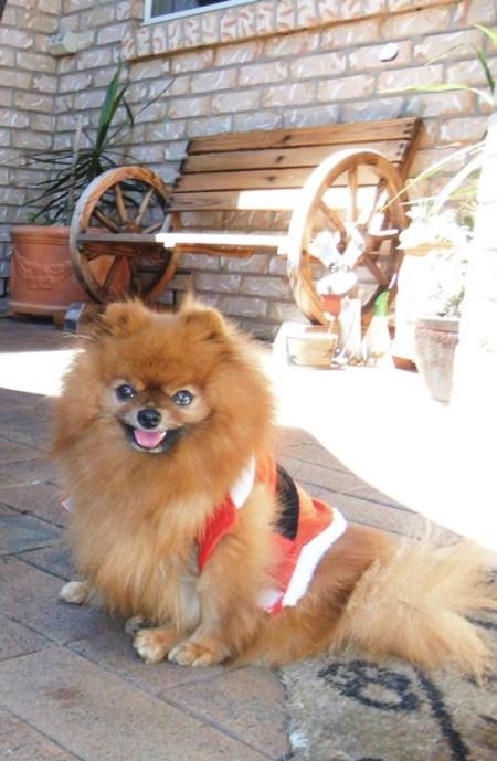 Cara, a ginger Pomeranian wearing a vest.