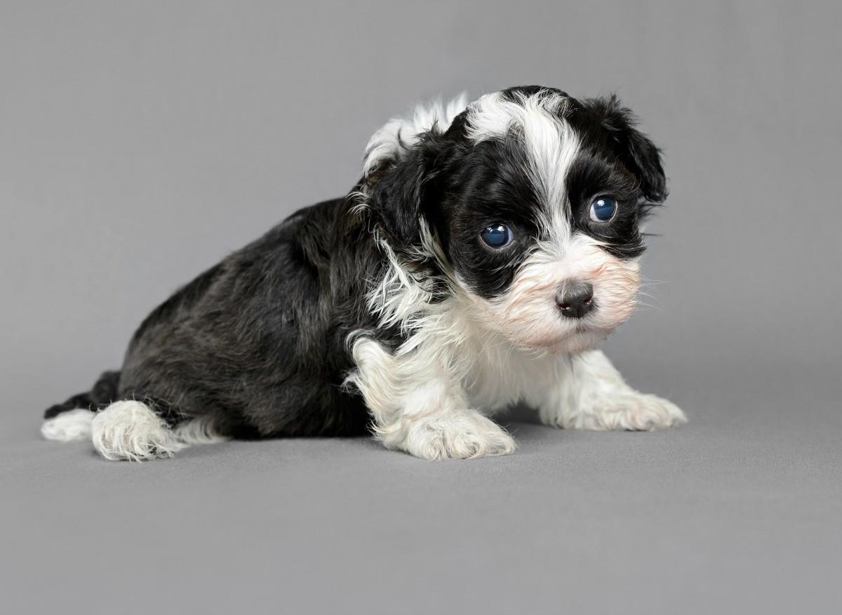 Newborn Puppy Not Pooping Thriftyfun