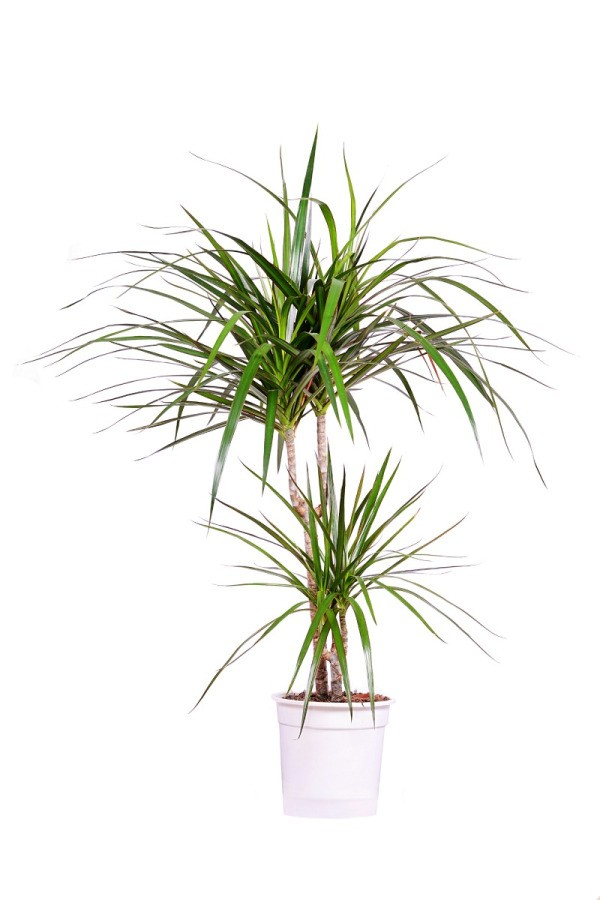 pruning a dracaena or dragon tree