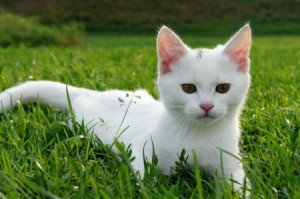 White Cat in Grass