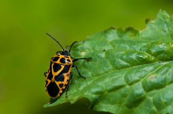 Garden Insects: Harlequin Bugs   ThriftyFun