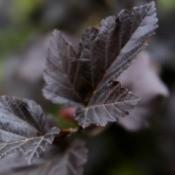 Ninebark (Physocarpus)