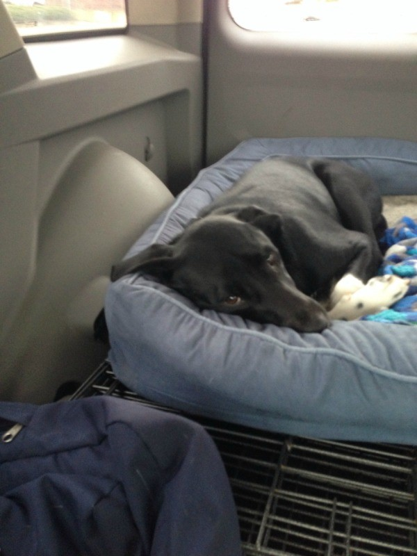 Dog on blue dog bed.