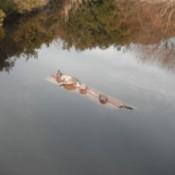 Turtles on a log.