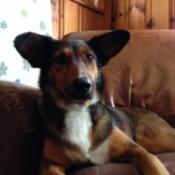 Dog with Corgi ears and Shepherd coloration.