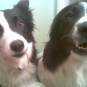 Two black and white dogs.