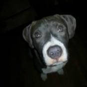 Black dog with white muzzle.
