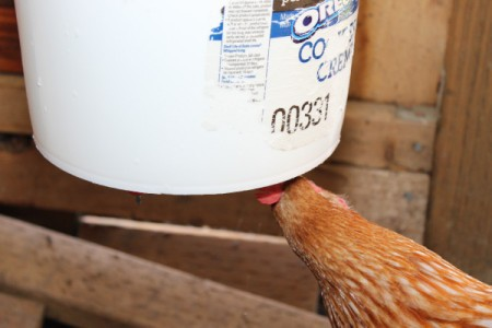 chicken using waterer