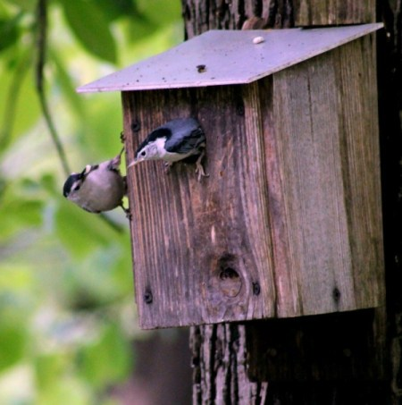 Get Bird Houses Ready Now - nuthatches on bird nesting box