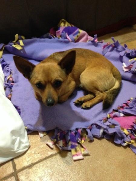 Small brown dog with large ears lying on fleece blanket.