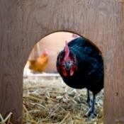 Heated Chicken Coop