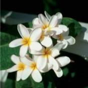 Florida Plumeria