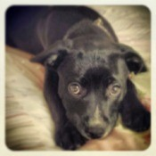 Closeup of black puppy.