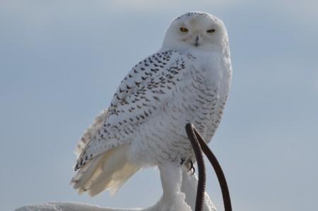 Snowy White Owl (Toronto)