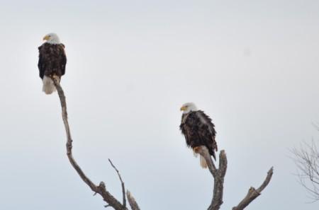 Bald Eagles on High (Ontario)