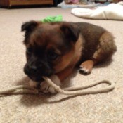 Puppy chewing on a piece of rope.