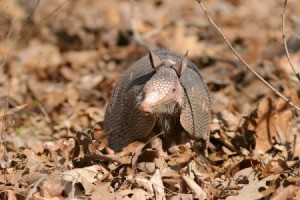 Armadillo Photos