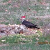Pileated woodpecker on tree stump.