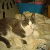 Gray and white kitten.