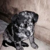 Splotchy black and white puppy.