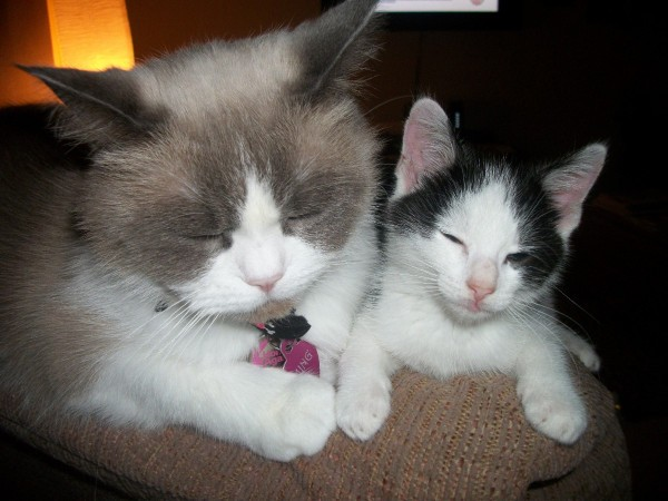 Ming Ragdoll Himalayan And Buttons Thriftyfun