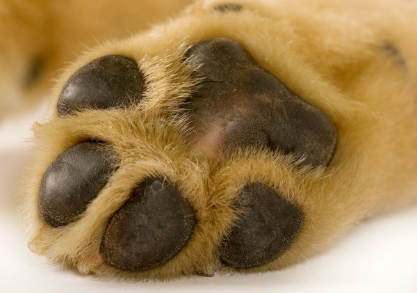 Picture Of Infected Dog Paw