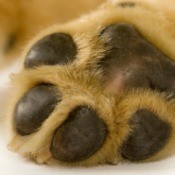Dog's paw, showing pads.