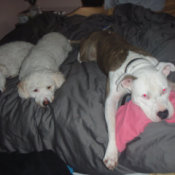 White and brown Pit on bed with two other dogs.