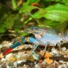 Pet Crayfish