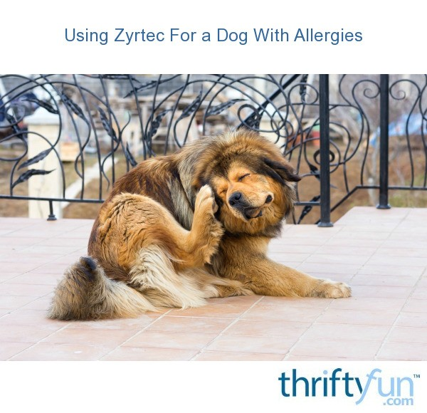 Can My Dog Have Zyrtec
