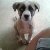 Dingo cross puppy.