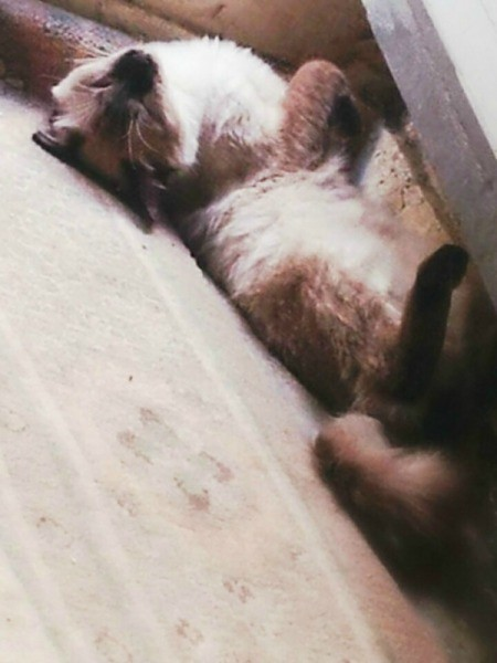 Seal Point Siamese lying on his back.