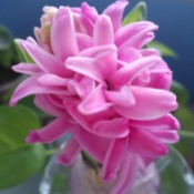 Closeup of beautiful pink hyacinth.