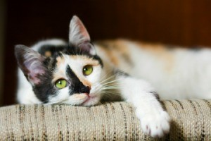 Mixed Breed Cat