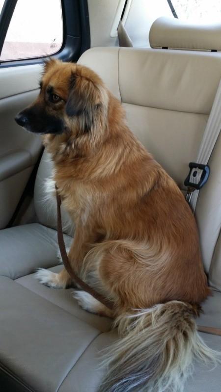 Brown longish haired dog.