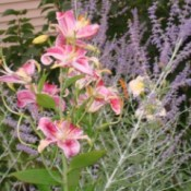 Lilies and sage.